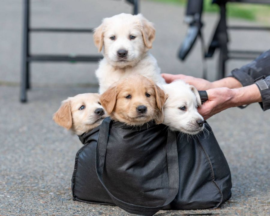 Forever homes needed for 11 orphaned golden retriever puppies in B C