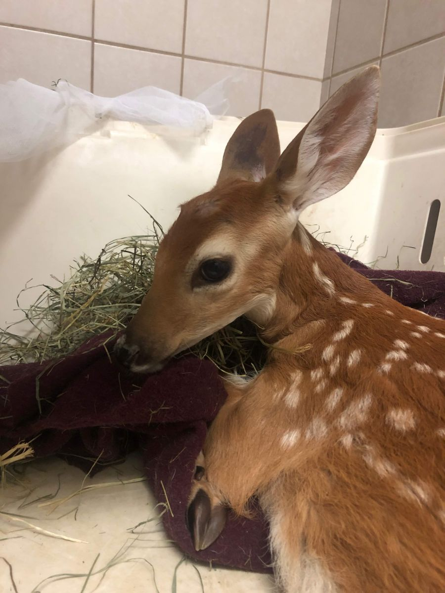 UPDATE: Race to find Gilbert the injured fawn a forever home given